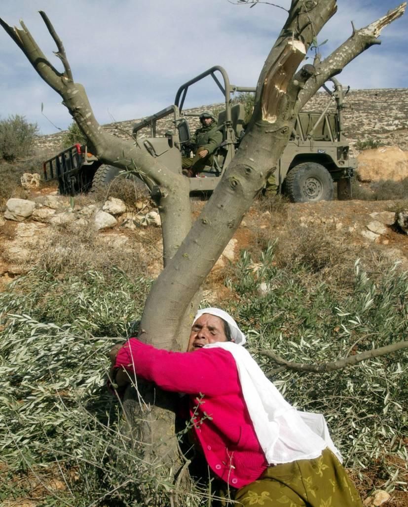 The olive tree a symbol of palestinian steadfastness subject to the olive tree a symbol of palestinian steadfastness subject to systematic destruction by senussi bsaikri buycottarizona Choice Image